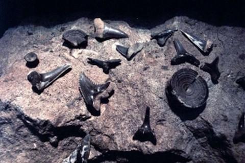 Az ipolytarnóci lelőhelyen előkerült cápafogak (fotó: Kultúrpont)
